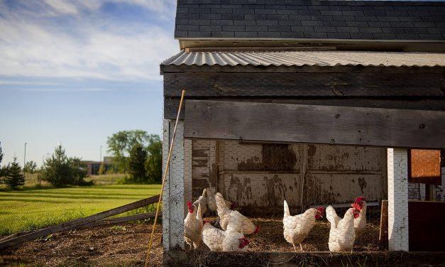 BGH zur Verbreitung ungenehmigter Filmaufnahmen aus Bio-Hühnerställen
